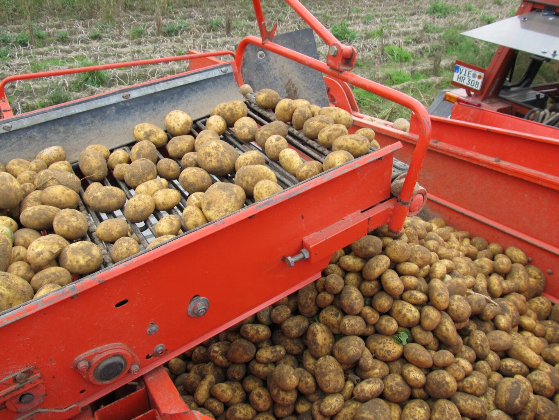 Kartoffeleernte auf dem Landhof Hermans in Nettetal-Lobberich.